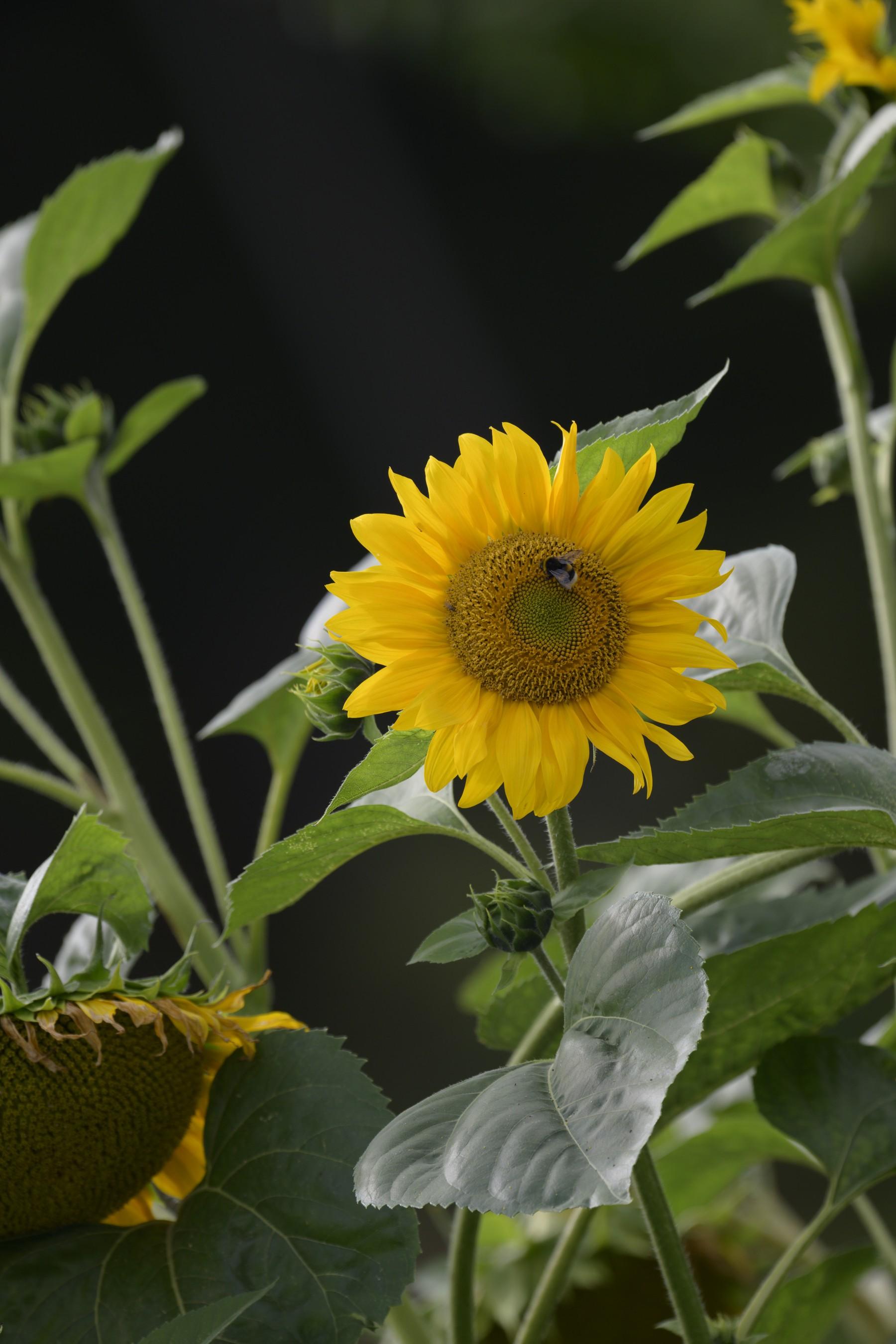 Anwendungsbild: Sonnenblumen in 66% der Größe und volles Feld der Nikon Z7